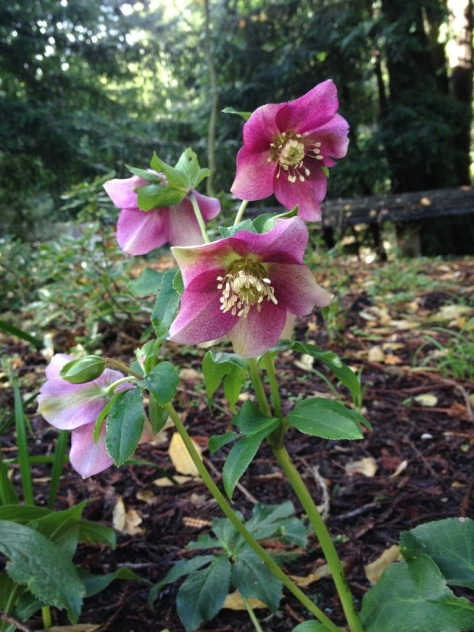 Early January Hellebores